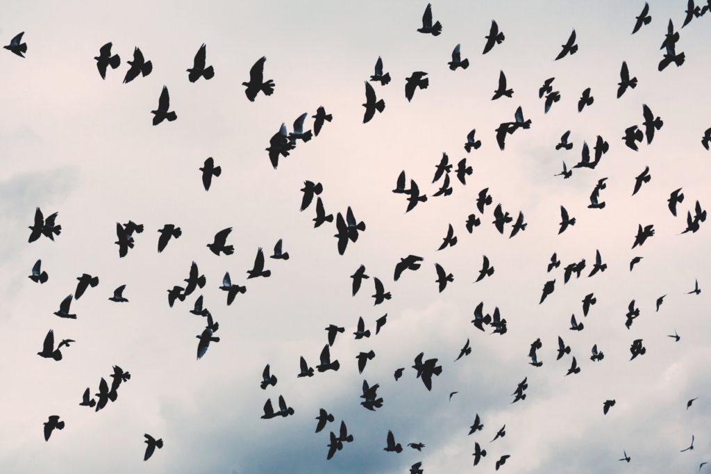 cloud of crows