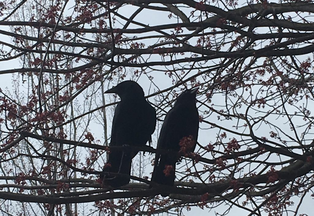 two crows in a blossoming cherry tree