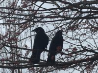 My Favorite Bird: Crows!