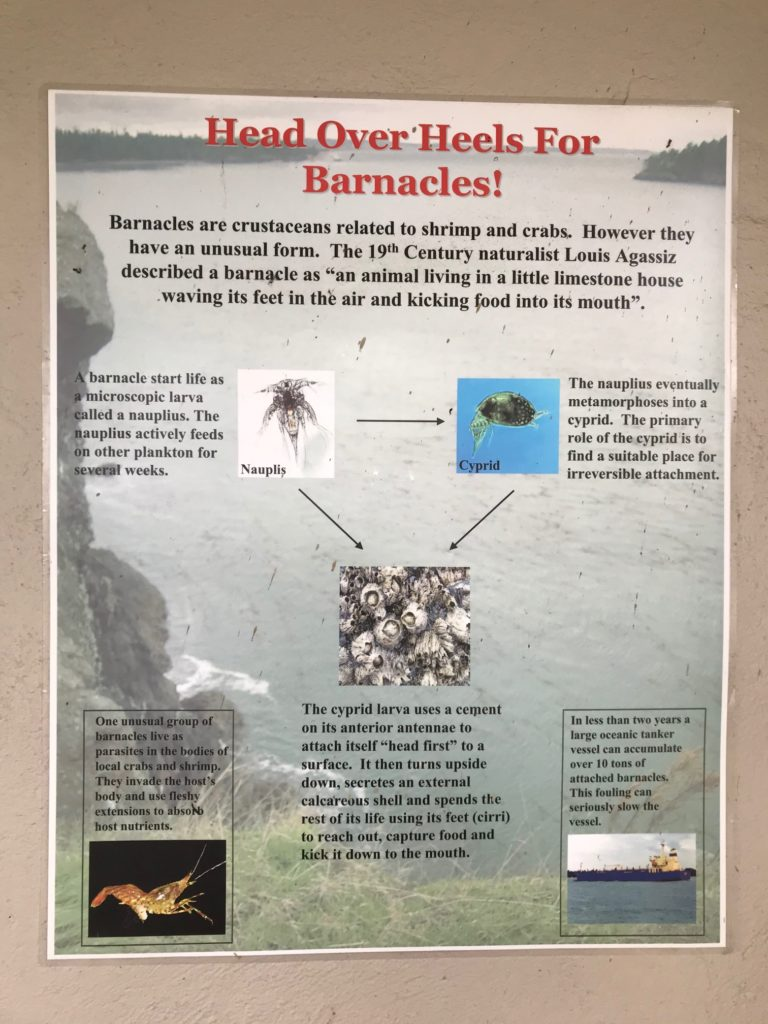 """Poster aout barnacles. Intro text reads, """"Head over heels for barnacles! Barnacles are crustaceans related to shrimp and crabs. However they have an unusual form. The 19th century naturalist Louis Agassiz described a barnacle as """"an animal living in a little limestone house waving its feet in the air and kicking food into its mouth."""""""