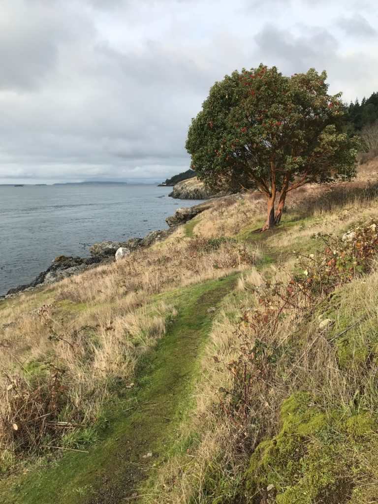 a lonely madrona tree on a coastal bluff with a thin green walking trail winding along the yellow grasses